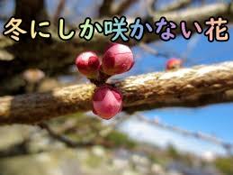 冬にしか咲かない花